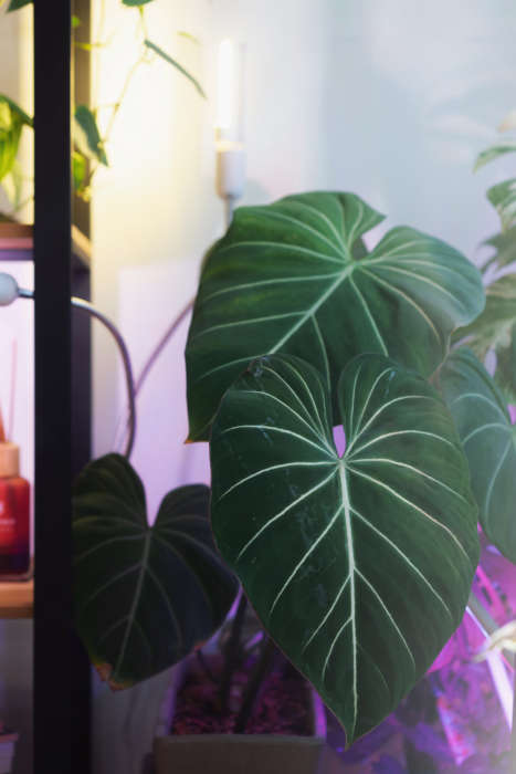 Philodendron Gloriosum Plant Care